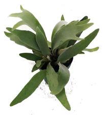 "French Staghorn Fern Indoor Live Plant Platycerium lemoinei 4"" Pot Houseplant"