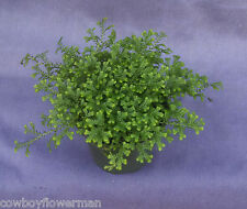 GREEN CLUB MOSS Selaginella kraussiana, Beautiful Moss for ground cover or pots.