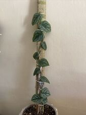 Monstera dubia *Rare shingling plant*