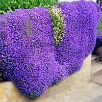 100 Aubrieta seeds Cascade Purple Flower Rock Cress seeds CombSH