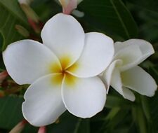 """5 Fresh Seeds Frangipani Plumeria Rubra """"Dwarf Deciduos White"""