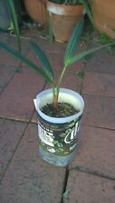 triangle palm (dypsis decaryi) seedling