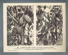 ▬► Planche photographique 📷 ANTILLES : Cabosses de cacaoyer et gousses vanille