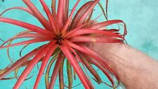 Bromeliad Tillandsia Brachycalous Tropical Air Plant