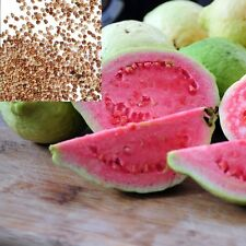 150+ FRESH SEEDS 'Guava' Sweet large Rose fruits ,clean & fresh seeds 150+