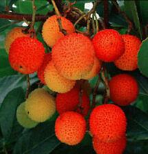 winterharte Erdbeerbaum Stecklinge schnellwüchsige exotische Pflanzen für Garten