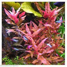 1 althernanthera rosaefolia   aquarium rare nanobac crevettes discus filtre