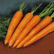 Long Imperator #58 Crunchy & Sweet Large Carrot 100+ seeds Organic NON-GMO