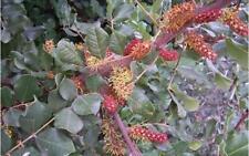 Ceratonia siliqua ( 10 graines /seeds )