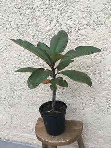 Plante exotique:frangipanier pluméria