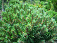 A 0.2g(approx.40) mountain pine seeds PINUS MUGO great for growing on the slopes
