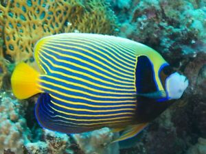 Emperor Angelfish - Pomacanthus Imperator (7-9 inches)