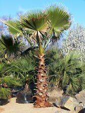 Washingtonia Palm Tree - WASHINGTONIA ROBUSTA - 20 Seeds - Tropicals