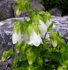 50 White RINGED BELLFLOWER Campanula Seeds *Gift&CombSH