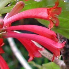 Unusual, rare Dermatobotrys! - Beautiful caudex plant - Fresh seeds