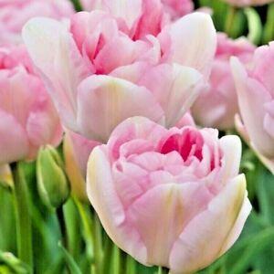 TULIP BULBS 'ANGELIQUE' Double Late peony Tulip Beautiful pink flowers