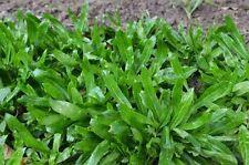 Thai Parsley , 2000 Seeds Culantro , fitweed , Stink weed Eryngium foetidum