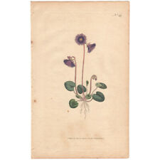 Curtis Botanical Magazine antique 1791 hand-colored engraving 49 Alpine Soldanel