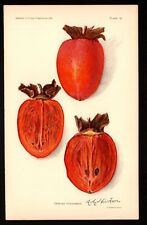 VINTAGE 1912 ORMOND PERSIMMON - COLOR LITHOGRAPH - U. S. DEPT. OF AGRICULTURE