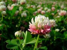 Großpackung 100.000+ Samen Trifolium hybdridum - Schwedenklee , Bienenklee