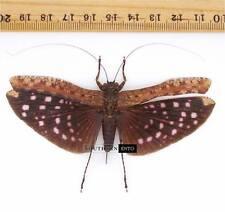Orthoptera sp.3 A1 Malaysia Hopper Katydid
