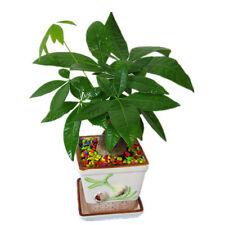1PCS Pachira Money Tree Plant Seeds Awesome Bonsai Home Garden Good Luck Tree