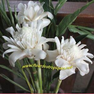 Etlingera eliator / Rose de Porcelaine Blanche - lot de 10 graines