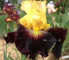 Tall Bearded Iris ~Reckless Abandon ~