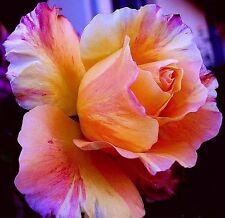5 graines rosier Eclat De Rose