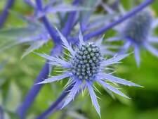 6 x Eryngium planum Blue Eryngo Thistle Large Plug Plants Perennial