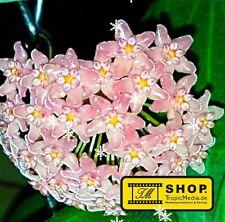 Hoya sp. 06 Philippines - Rotblatt NEW - Pflanze