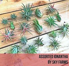 10 assorted Tillandsia IONANTHA air plants - FREE SHIP variety wholesale bulk