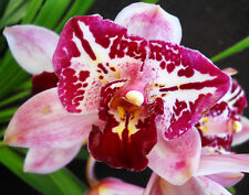 Cymbidium Sussex Court Fil-American Beauty, orchid plant