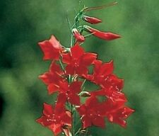standing cypress, DROUGHT TOLERANT, red flower, 70 SEEDS!  GroCo*