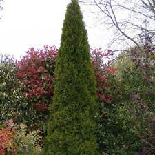 Thuja occidentalis 'Emeraude' - Thuya du Canada Smaragd