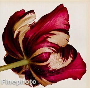 1980 Vintage IRVING PENN Botanical FLOWER TULIP Sorbet Photo Engraving Art 12X16