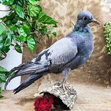 T28i Taxidermy Oddities Curiosities Standing Rock Pigeon bird collectible Cl