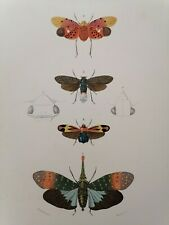 Orbigny Gravure Sur Acier XIXème Hémiptère Phyrophore Blanchard pinx 1849