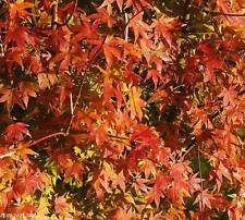 Japanese Maple Acer palmatum popular seeds for bonsai