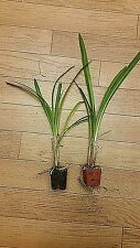 2 Plants Agapanthus Africanus, White Lily of the Nile, LIVE Potted Plant
