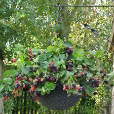 More details for blackberry black cascade 9cm trailing fruit bush