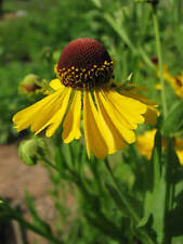 50+ Helenium Purple Headed Tiny Dancer Flower Seeds / Perennial