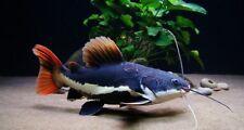 Phractocephalus hemioliopterus (Redtail Catfish)