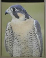 """Peregrine Falcon"", Signed and Numbered Limited Edition 16""x20"" Photograph"