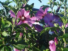 Hibiscus( jeune plante)re Novemb est idéal pr replanter.Les racines s'installent