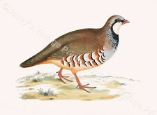 Red Legged Partridge - Game Bird ART PRINT - FREE UK P&P