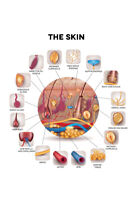Human Skin Anatomy Cross Section Educational Chart Poster 12x18 inch