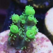 Live Coral: Wysiwyg Aussie Neon Green Aculeus Sps Acro Acropora Coral Frag