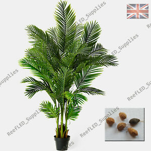 RARE Areca Butterfly Palm Bonsai, Chrysalidocarpus Lutescens -5 Viable Seeds-UK