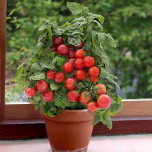 TOMATO BALCONY CHERRY RED - BAJAJA (350 SEEDS)